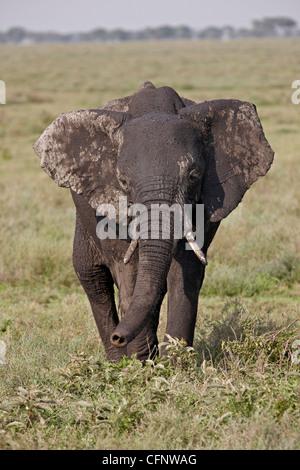 Afrikanischer Elefant (Loxodonta Africana), Serengeti Nationalpark, Tansania, Ostafrika, Afrika