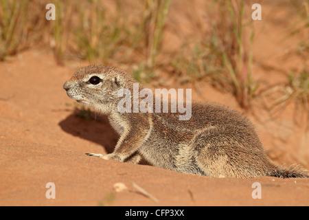 Kap-Borstenhörnchen (Xerus Inauris), Kalahari Gemsbok National Park, Südafrika, Afrika - Stockfoto