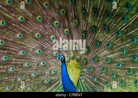 Peacock anzeigen - Stockfoto