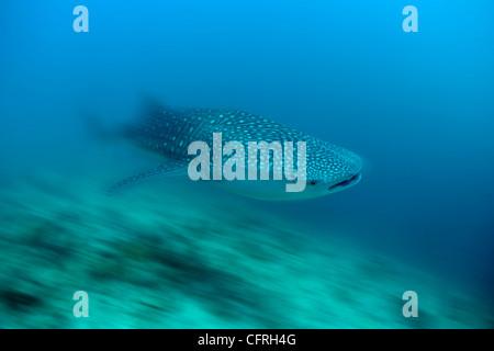 Walhai, anfällig (IUCN), Malediven, Indischer Ozean - Stockfoto