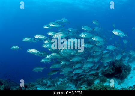 Schwarm von Großaugenthun Trevally, Schwarzwald, Insel Balicasag, Panglao Island, South Bohol, Central Visayas, - Stockfoto