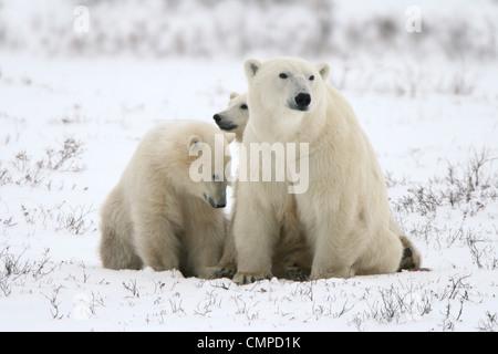 Eisbären, Mutter und zwei jungen, Churchill, Manitoba - Stockfoto