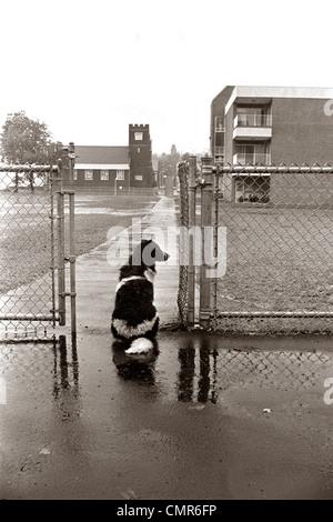 1970ER JAHRE SCHWARZ WEIß GEFLECKTEN HUNDESITTING IM REGEN SEINEN BESITZER VON HOF SCHULTOR WARTEN - Stockfoto