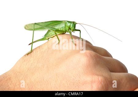 Große grüne Bush-Cricket (Tettigonia Viridissima) isoliert auf weißem Hintergrund - Stockfoto