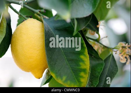 citrus limon zitrone stockfoto bild 50283567 alamy. Black Bedroom Furniture Sets. Home Design Ideas