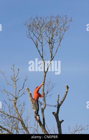 Baum Fällen Fella Chirurgen entfernen Niederlassungen mit Kettensäge und Kabelbaum - Stockfoto