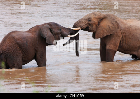 Elefanten im Fluss, Trunks gesperrt, Samburu National Reserve, Kenia - Stockfoto