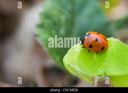 Sieben gefleckten Marienkäfer Coccinella Septempunctata, bereit um zu fliegen. - Stockfoto