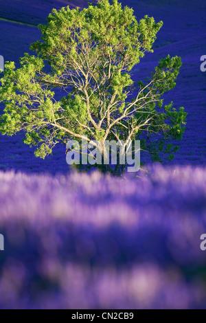Frankreich, Alpes de Haute Provence, Puimichel, Mandel und Lavendel - Stockfoto