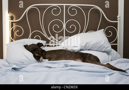 staffordshire bull terrier hund schlafen auf eine braune ledercouch mit einem kissen vor ihm. Black Bedroom Furniture Sets. Home Design Ideas