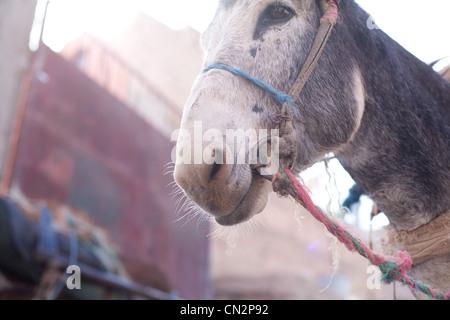 Eselskopf, niedrigen Winkel Ansicht - Stockfoto