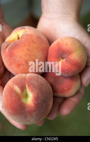 Person, die frische Pfirsiche - Stockfoto