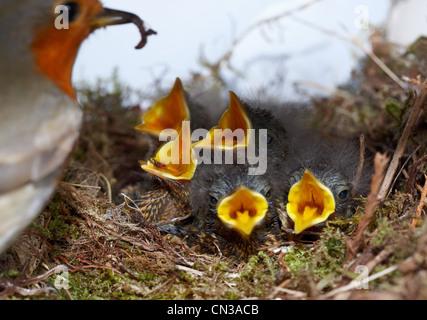 Robin mit fünf Küken im nest - Stockfoto