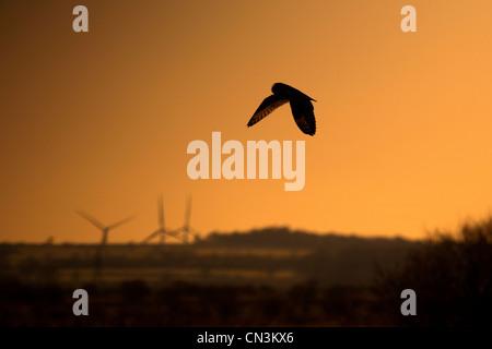 Sumpfohreule - Asio flammeus - Stockfoto