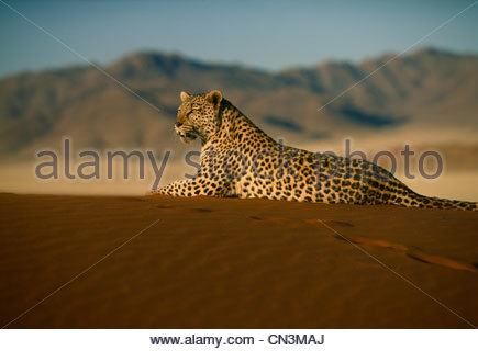 Leopard, Namib-Naukluft-Nationalpark, Namibia - Stockfoto