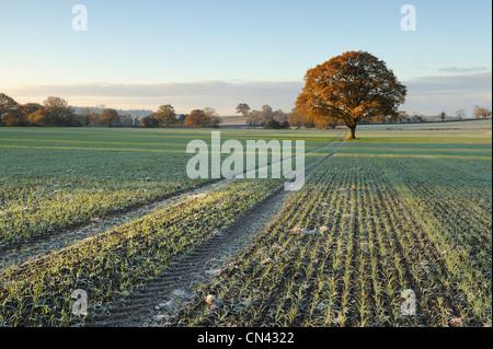 Traktor verfolgt zu einem einsamen Stieleiche (Quercus Robur) in einem Feld in Somerset. - Stockfoto