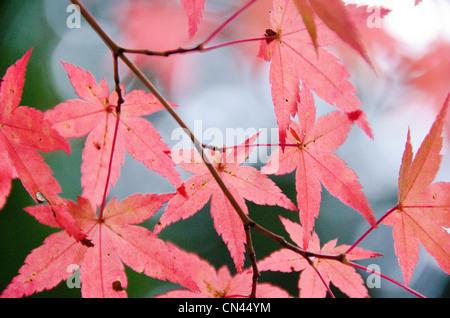 acer palmatum japanischer roter ahorn stockfoto bild 73458591 alamy. Black Bedroom Furniture Sets. Home Design Ideas