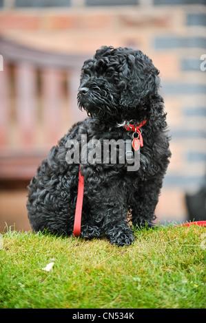 Ein junger schwarzer Cockapoo Hund auf einem Spaziergang im Wald an ...
