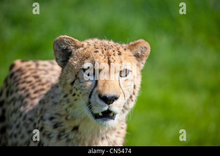 Geparden auf der Jagd - Stockfoto
