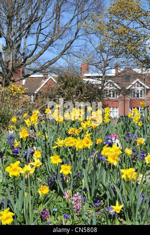 Narzissen in voller Blüte an einem sonnigen Frühlingstag - Stockfoto
