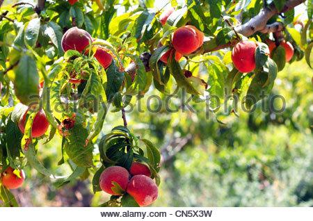 Pfirsiche auf einem Ast - Stockfoto