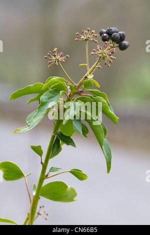 Gemeinsamen Efeu (Hedera Helix)-Beeren Stockfoto