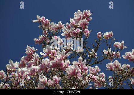 Nahaufnahme eines rosaroten Magnolienbaums in voller Blüte vor blauem Himmel, England, Großbritannien