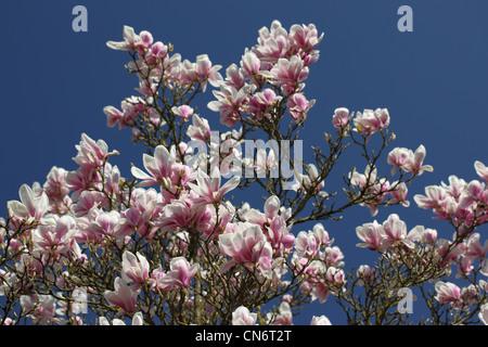 Magnolienbaum in voller Blüte vor blauem Himmel