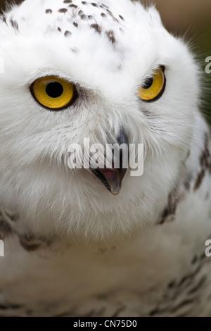 Schneeeule - Bubo Scandiacus - Berufung - Stockfoto