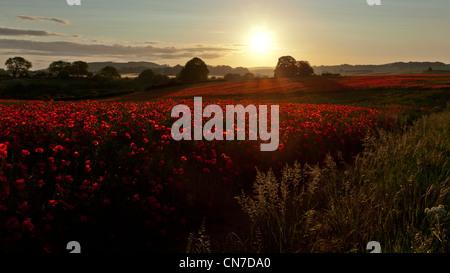 Am frühen Morgen Bild zwei Mohnfelder mit der Sonne spielen am oberen Rand der Blumen und Gräser und einen Weg aber - Stockfoto