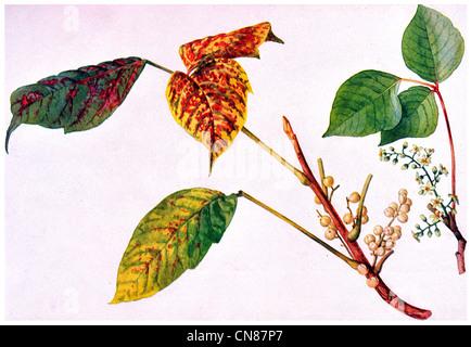 Erste veröffentlichte 1915 vergiften drei Leaved Ivy Toxicodendron Radicans