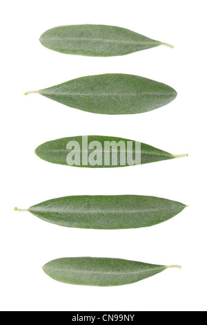 Olivenbaum Blätter Sammlung - Stockfoto