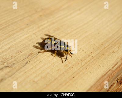 europ ischen wespen deutsche wespen deutsche yellowjacket vespula germanica schwarm. Black Bedroom Furniture Sets. Home Design Ideas