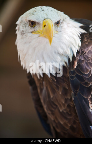 Frankreich, Menge, Rocamadour, Ecoparc Rock Adler, Vogelpark, Greifvögel, Weißkopf-Seeadler (Haliaeetus Leucocephalus), - Stockfoto