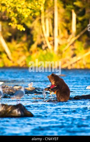 Young-Brown Bärenjunge stehend auf Hinterbeinen Fänge seinen ersten Lachs im Russian River, Halbinsel Kenai, Alaska, - Stockfoto