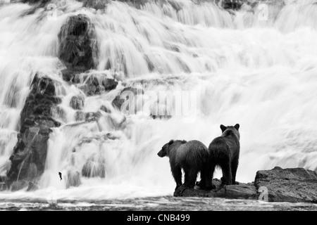 Zwei junge Braunbären Fischerei auf Lachs am Fuße eines Wasserfalls im Tongass National Forest, Alaska. Digital - Stockfoto