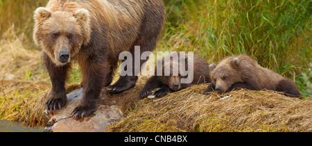 Eine Braunbär Mutter scannt das Wasser für Lachs, während ihre Jungen am Ufer des Grizzly Creek, Katmai Nationalpark, - Stockfoto
