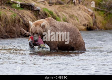 Brauner Bär fängt einen Lachs in seinen Mund, Grizzly Creek, Katmai-Nationalpark und Konserve, Südwest-Alaska, Sommer - Stockfoto