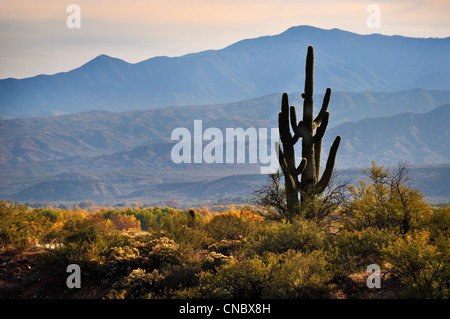 saguaro kaktus bl te stockfoto bild 18605826 alamy. Black Bedroom Furniture Sets. Home Design Ideas