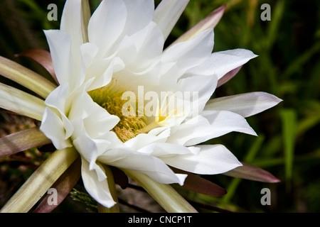 Weiße Kaktusblüte, Eastern Cape, Südafrika Stockfoto, Bild: 47609169 ...