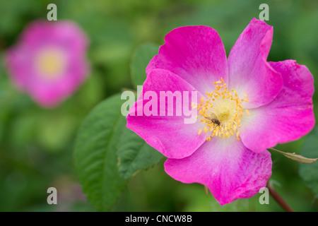 Makro einer stacheligen Rose blüht, Chugach State Park, Yunan Alaska, Sommer - Stockfoto