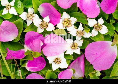 Nahaufnahme von stacheligen Rosenblätter und Zwerg-Hartriegel, Chugach State Park, Yunan Alaska, Sommer - Stockfoto