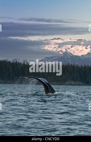 Nahaufnahme eines Buckelwal Geschichte Tropfwasser, da der Wal in Lynn Canal bei Sonnenuntergang, südöstlichen Alaska, - Stockfoto