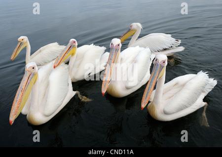 Gruppe der große weiße Pelikane in Wasser - Stockfoto