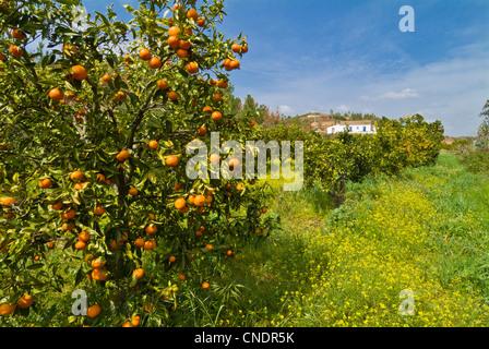 Portugal algarve orangen an den b umen in einem - Baum auf spanisch ...