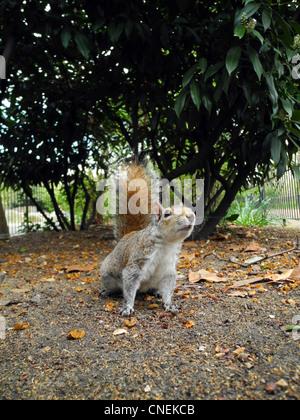 Grauhörnchen in St James Park London UK - Stockfoto