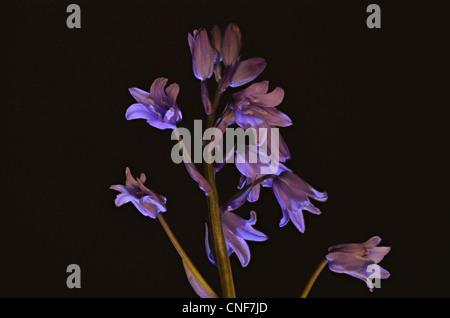 Nahaufnahme Foto von Glockenblumen, aufgenommen im Studio unter künstlichem Licht - Stockfoto