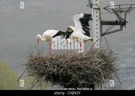 Weißer Storch (Ciconia Ciconia) Erwachsenen paar, am Nest am Pylon, Alentejo, Portugal, april - Stockfoto