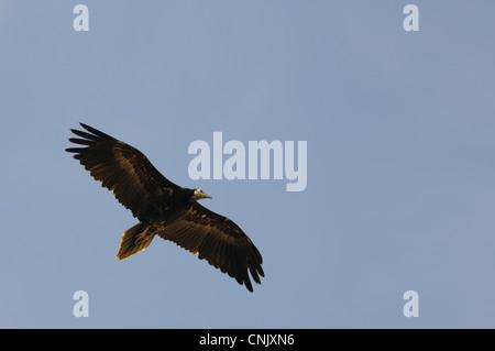 Schmutzgeier (Neophron Percnopterus) Jugendkriminalität, im Flug, Sokotra, Jemen, März - Stockfoto
