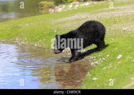 Amerikanische Schwarzbären (Ursus Americanus) sechs - Monate altes Jungtier, trinken am Rand des Wassers, Montana, - Stockfoto